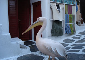 greek islands - mykonos pelecan peter